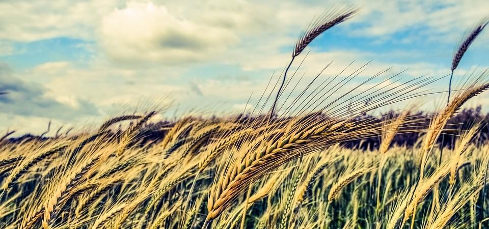 barley-2149860_960_720